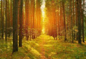 Light coming through pine trees.